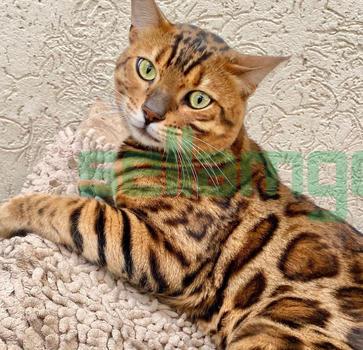 Chatons Bengal avec pedigree